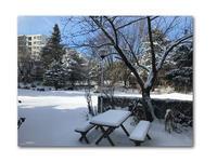 春が行ったり来たり - 雪割草 - Primula modesta -