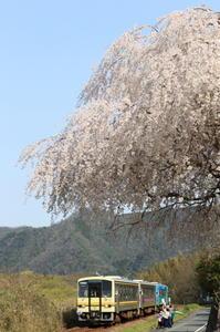 しだれ桜の下を - かにさんの横歩き散歩日記