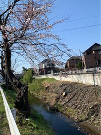 桜前線 - お茶畑の間から ~ Ke-yaki Pottery