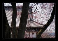 寺のコヒガンザクラ - Desire