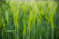 青麦畑 - かたくち鰯の写真日記2