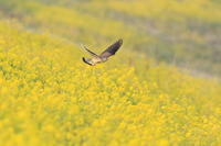 チョウゲンボウ菜の花 - 気まぐれ野鳥写真