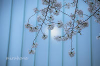 桜のキャンパス。 - MIRU'S PHOTO