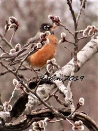 春の鳥American ロビンがこんにちは - NYからこんにちは