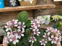 お花の苗物、入荷情報です♪♪ - ブレスガーデン Breath Garden 大阪・泉南のお花屋さんです。バルーンもはじめました。