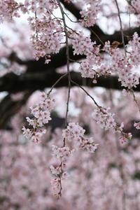 しだれ桜♪青空に美しく~癒されて~5 - Let's Enjoy Everyday!