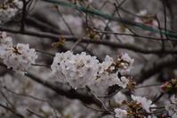 桜だより2019@目黒川 - 笑顔がいちばん ♪