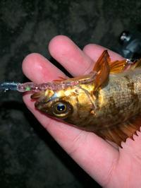 めっちゃ釣ったど♬ - 広島の〜中学生Seabass angler