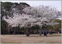一本の大島桜が満開 - 野鳥の素顔 <野鳥と日々の出来事>