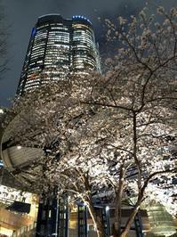 六本木ヒルズ・毛利庭園の夜桜 - まほろば日記