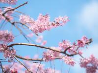 桜と青空 - 節操のない写真館