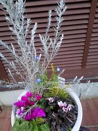 """奇跡の再会!""""ネモフィラ""""が咲いているじゃありませんか! - 健気に育つ植物たち"""