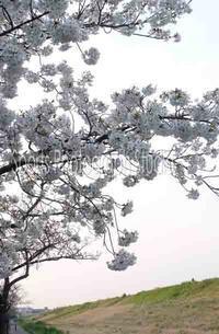 江戸川堤の桜 - スポーツカメラマン国分智の散歩の途中で