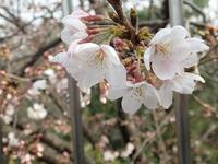 桜開花宣言! - 手柄山温室植物園ブログ 『山の上から花だより』