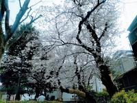 桜鑑賞散歩@中野店 - ゲストハウス東京