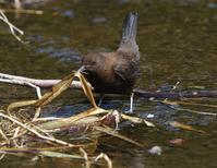 巣材運びが大忙し、、 - ぶらり探鳥