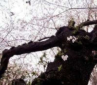 桜、桜、桜 - のんびり街さんぽ