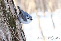 北の大地遠征4日目フレンドリーな「シロハラゴジュウカラ」さん達♪ - ケンケン&ミントの鳥撮りLifeⅡ