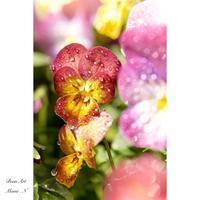 ビオラ〜 Garden Photography 〜 - BEAN ART Cafe  - Mami . N -