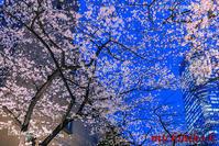 ライトアップの桜六本木 - 風景写真家 鐘ヶ江道彦のフォトブログ