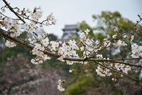 桜咲いています♪ - 名鉄犬山ホテル情報