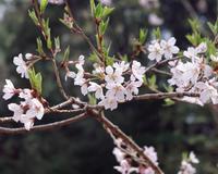 桜の季節 - 多摩川BBQ通信