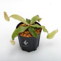 New arrival plants   新掲載植物ネペンテス Borneo Exotics、その他追加掲載致しました。 - ZERO PLANTS / BLOG