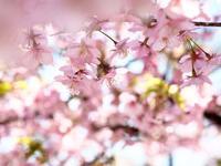 鶴見緑地の河津桜(2)@2019-03-09 - (新)トラちゃん&ちー・明日葉 観察日記
