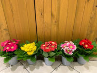 今日のお花の入荷情報です^_^ - ブレスガーデン Breath Garden 大阪・泉南のお花屋さんです。バルーンもはじめました。