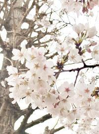 桜が咲いた〜🌸 - umi no oto ♪