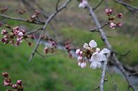 番外編 秋篠川の桜の状況 - 新世界遺産への道~撤去前収集活動~