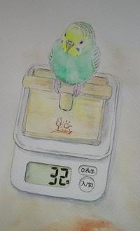 32gになったね - Blue & Yellow Budgie