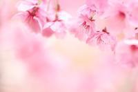『陽光桜』 - 心 色