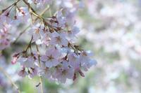 枝垂れ桜 - 光りの音   photo gallery