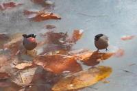 薄氷を踏むウソ…2ショット編 - 上州自然散策2