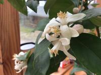 レモンの花、今日から再スタート - イギリス ウェールズの自然なくらし