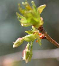 開花間近のオオシマザクラと庭の花 - AR75TS
