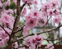 可愛い早春のピンク&ブルーハナモモが満開に - miyorinの秘密のお庭