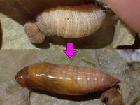 ミヤマセセリの蛹 - 秩父の蝶