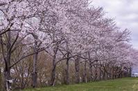 今年の桜は・・・ - More than now