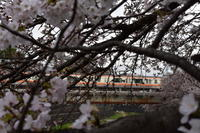 3月の終わりに残堀川の桜が咲いた! - いけのさい~子育てと教育の一隅を照らす