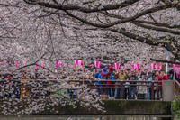 目黒川の桜 - デジカメ写真集