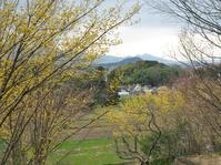 明日香・八釣山茱萸 - まほろば 庭いじり