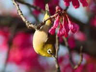 逆さメジロ・・・寒緋桜はそろそろ葉桜に。これからはソメイヨシノメジロだ。 - 『私のデジタル写真眼』