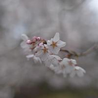 雨の初桜 - Wayside Photos  ☆道端ふぉと☆