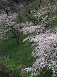 東京の桜が満開!! - ヨーロッパ映画を観よう!