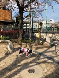 桜と老犬 - 犬とお散歩