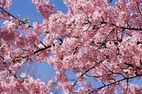 鶴見緑地の河津桜とメジロ@2019-03-09 - (新)トラちゃん&ちー・明日葉 観察日記