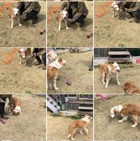 ベルちゃん、3月28日で①③歳を迎えました。 - 犬との穏やかな日々