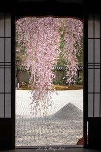 The 京都な桜 - Berry's Bird